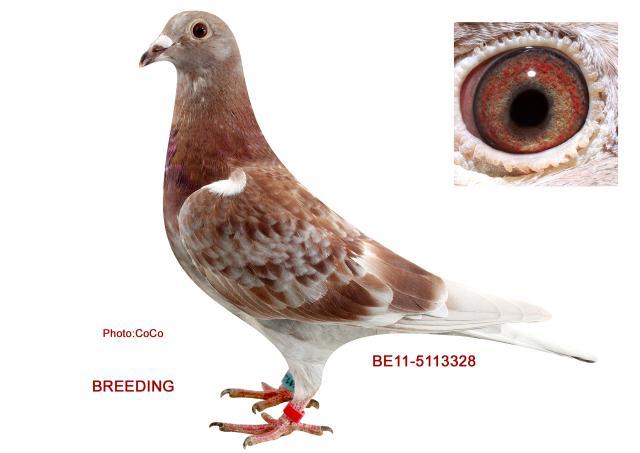 Pigeon Market - Top Racing Pigeons for Sale